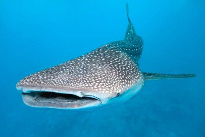 tiburon mas grande de la historia