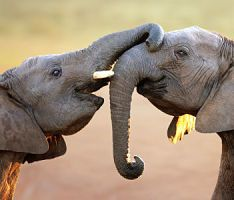 Elephants are being slaughtered by organized poaching networks, and U.S. consumers are helping to finance the killing. Save endangered elephants from poachers before these majestic animals disappear forever.