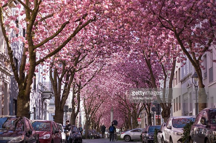 Blooming cherry blossom trees are seen in the streets of the historic district on April 20, 2016 in Bonn, Germany. The ornamental japanese cherry blossom trees were planted in the 1980's and became yearly a popular attraction in North Rhine-Westphalia.