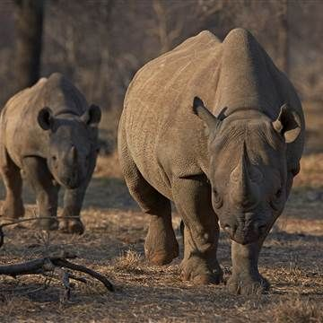 African Rhino Injures Poacher in Rare Reversal of Fortunes - NBC News