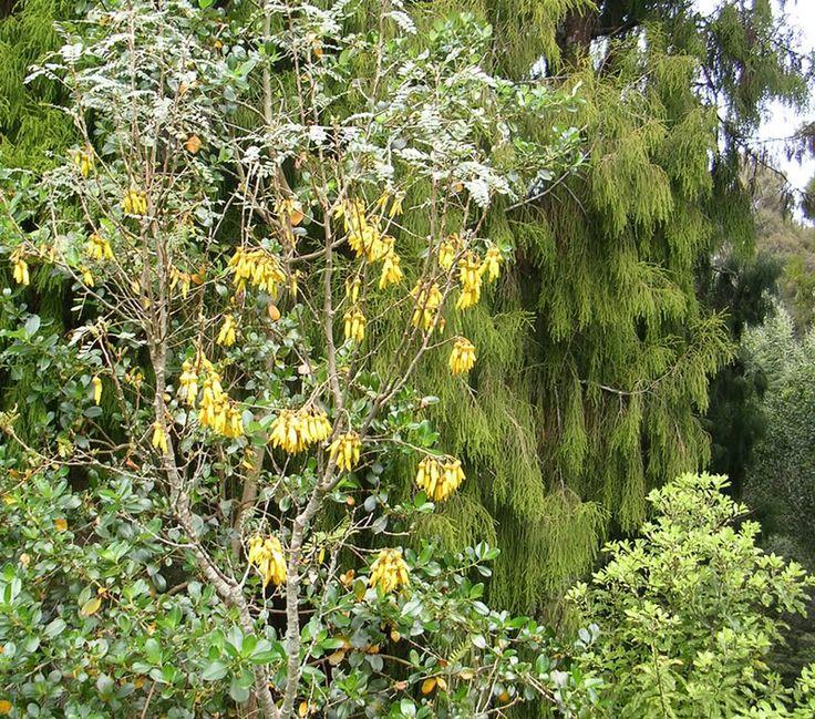 Kowhai tree in flower