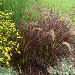 Pennisetum rubrum a k a purple fountain grass is an for Hardy fountain grass