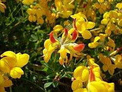 Keltamaite (Lotus corniculatus)