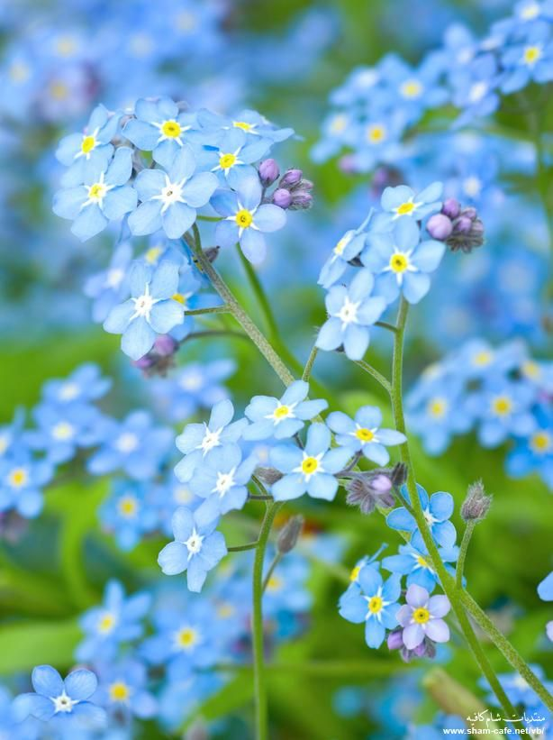 Forget-Me-Nots...the official flower of Alzheimer's awareness.