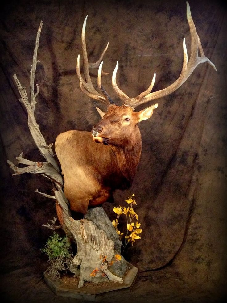 pedistal elk taxidermy mounts - Google Search