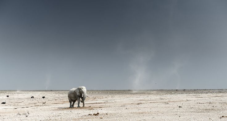 Magical Etosha - A bull elephant walking around small tornados in Etosha National Park, Namibia - Chris Schmid
