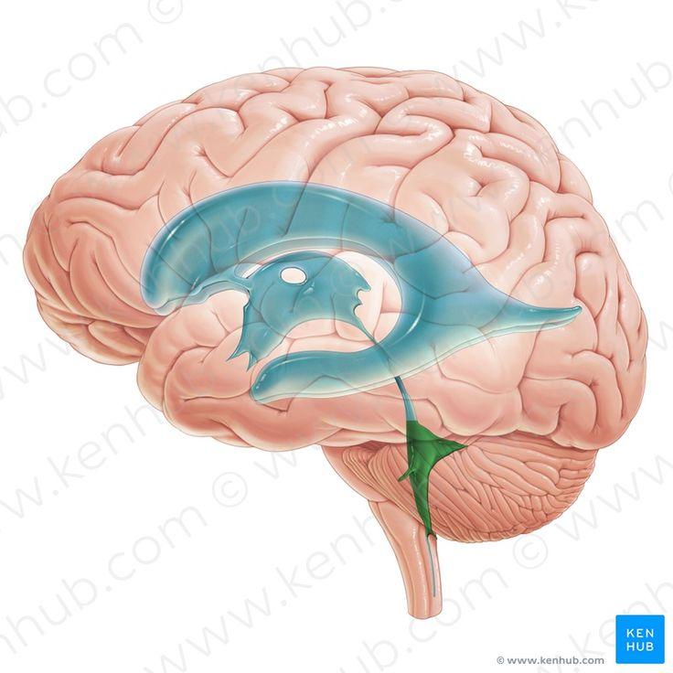 124 besten brains Bilder auf Pinterest | Anatomie, Fette und Fettgewebe