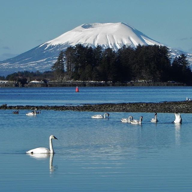 There are great winter birdwatching opportunities @sitkanps! Swans are one of the many different types of birds that can be viewed visiting the tidal flats recently- thanks to visitor Karen Johnson for sharing this fantastic view #birdwatching #findyourpark #nps #nationalparks #nationalparkservice #swans #alaska #sitka