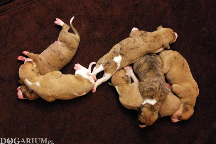 Whippet puppies - 1 week old
