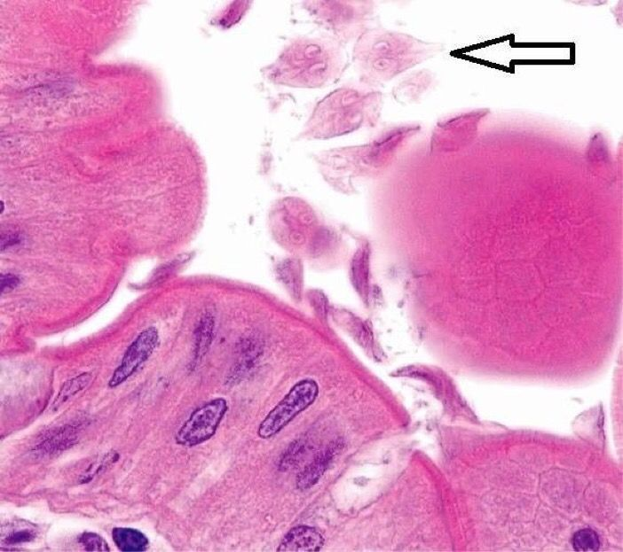 Giardia life cycle in humans -