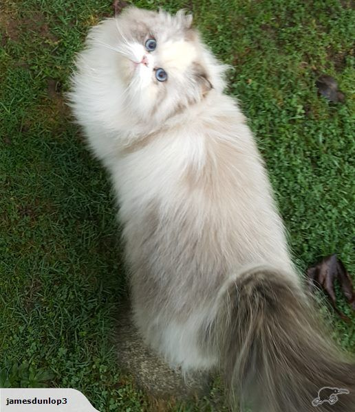 Brianna (Bree) is a 16 month old purebred Persian.