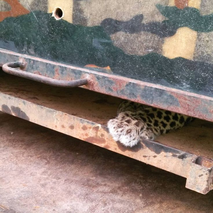 We were at the #Agumbe #Rainforest #Research Station taking a break from two back to back #rescues- a #kingcobra and what turned out to be a #trinket- when the call came in from the Kudremukh #Forest Department. A #leopard was trapped in a house... With a #snare around it.  To be honest I half expected to see a dead leopard when we reached. What I did not expect was a leopard #cub (barely a sub-adult) hiding in one shed which she could have easily broken through had she been big enough with…