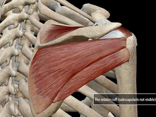200 best Muscle Anatomy images on Pinterest | Human anatomy, Anatomy ...