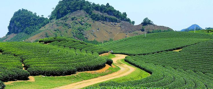 Tea plantations in Moc Chau. #vietnam #sonla #mocchau #tea #plantation #travel #wandering