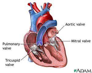 Heart Valve Replacements: Human Heart Valves