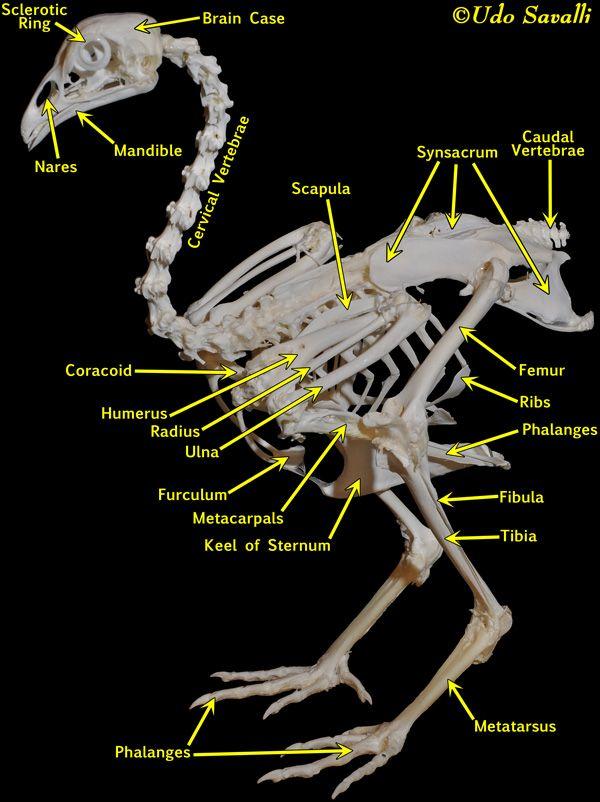 Chicken Bone Anatomy