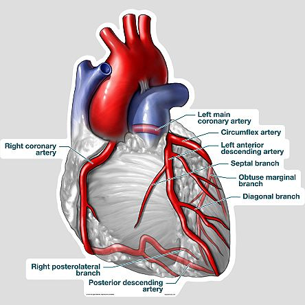 Anatomy coronary arteries