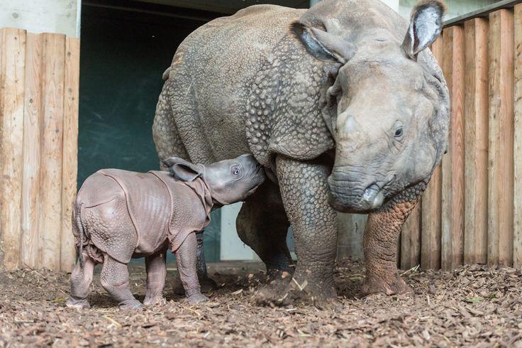 В Зоопарке Базеля родился детеныш индийского носорога - http://zoovestnik.ru/2013/10/15597/