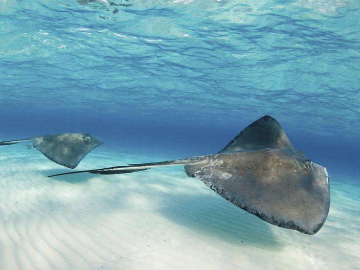 Лучшие острова для подводного плавания |  морской скат