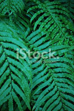 New Zealand 'Kiokio' Fern Royalty Free Stock Photo