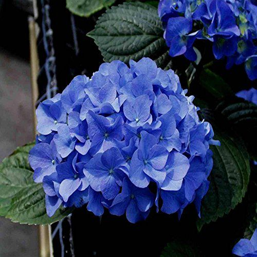 les 25 meilleures id es de la cat gorie hortensia macrophylla sur pinterest taille glycine. Black Bedroom Furniture Sets. Home Design Ideas