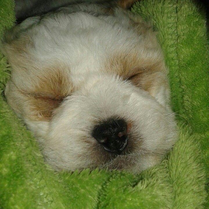 Baby lhasa apso.. meu pequenino Hugo Boss ..♥♥