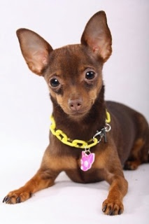 Deer head chihuahua...pastel promised to get me one someday. I am ...