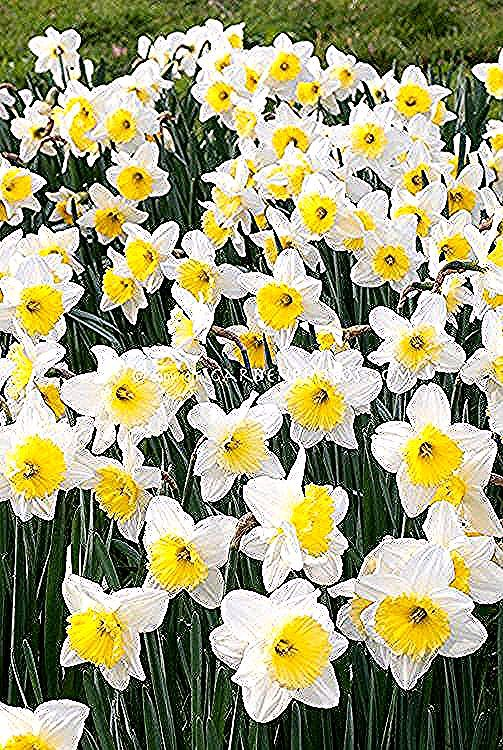 December birth flower Narcissus in 2020 December birth
