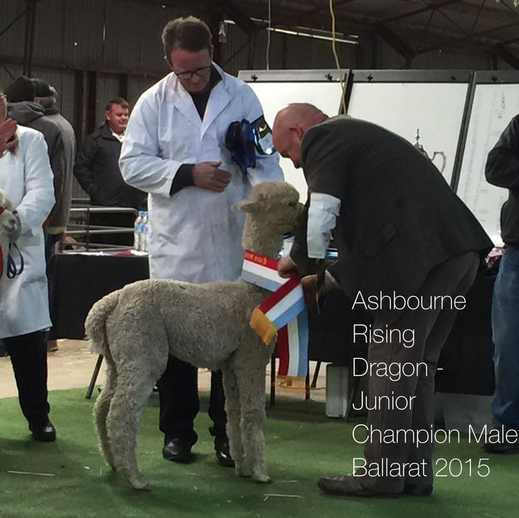 Ashbourne Rising Dragon - Junior Champion Male Ballarat 2015