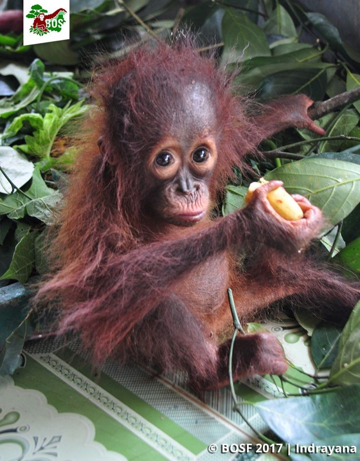Baby Jacqui Arrives Bornean Orangutans Are Still Under Threat