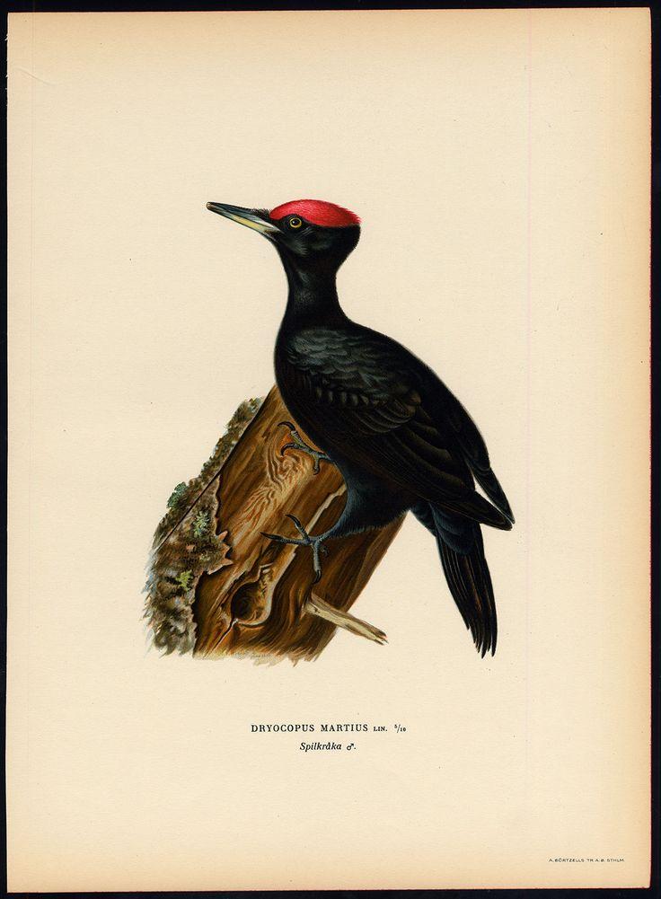 Antique Print Dryocopus Martius Black Woodpecker Von Wright 1917 | eBay