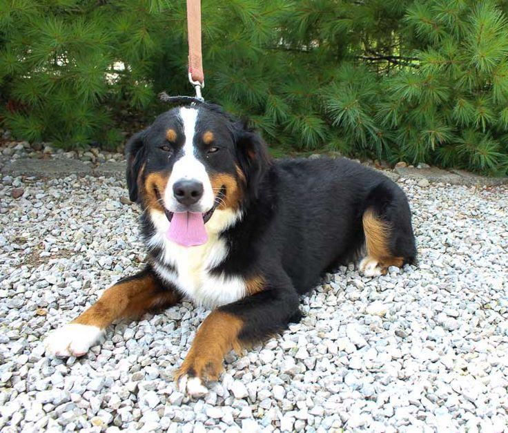 Elsa Breed Bernese Mountain Dog Gender Female Registry Akc