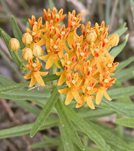 [Human Systems: Pulmonary] Pleurisy root (Asclepias tuberosa), also called butterfly weed, has been used traditionally to treat pleurisy, bronchitis, pneumonia and influenza. Treatment of these conditions with pleurisy root is still common in the United Kingdom, but not as much in mainland Europe or the United States.