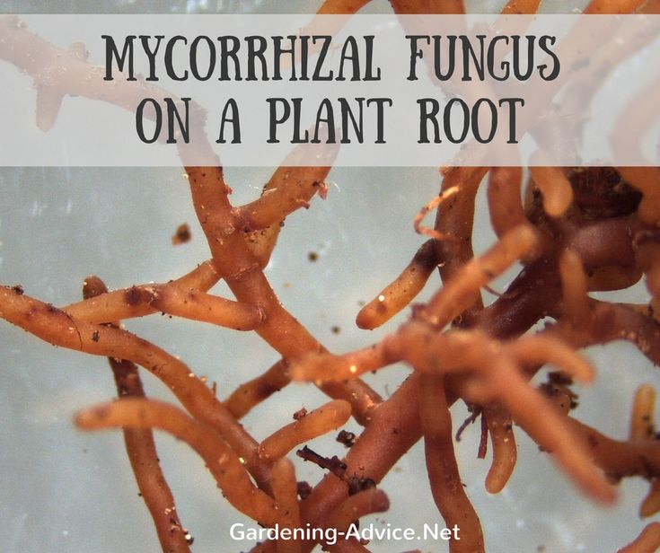 The mycelium (this is the microscopic root system of the mushroom) grows either around or into the roots of the plant depending on the type of fungus.