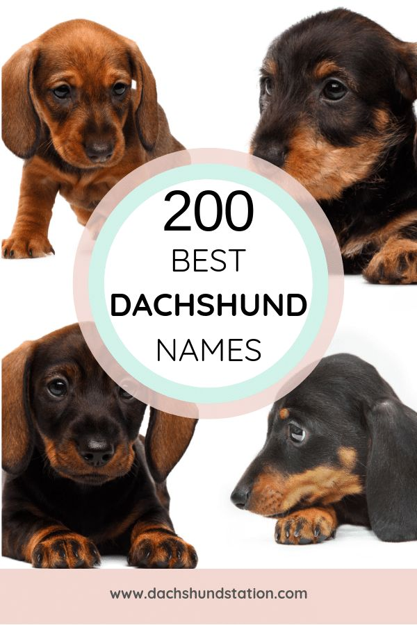 Best Dachshund Names Of 2020 Dog names, Cute puppy names