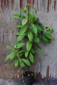 Avokado - Persea americana  Trooppiset hyötykasvit huonekasveina - kasvit ovat kaupasta ostettujen hedelmien siemenestä kasvatettuja.
