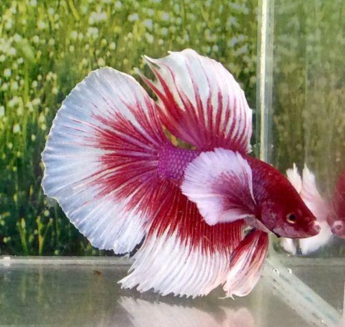 25 best ideas about betta on pinterest betta fish for Best place to buy betta fish online