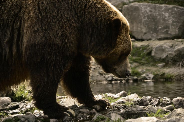 Grizzly by Christopher Sauvageau on 500px