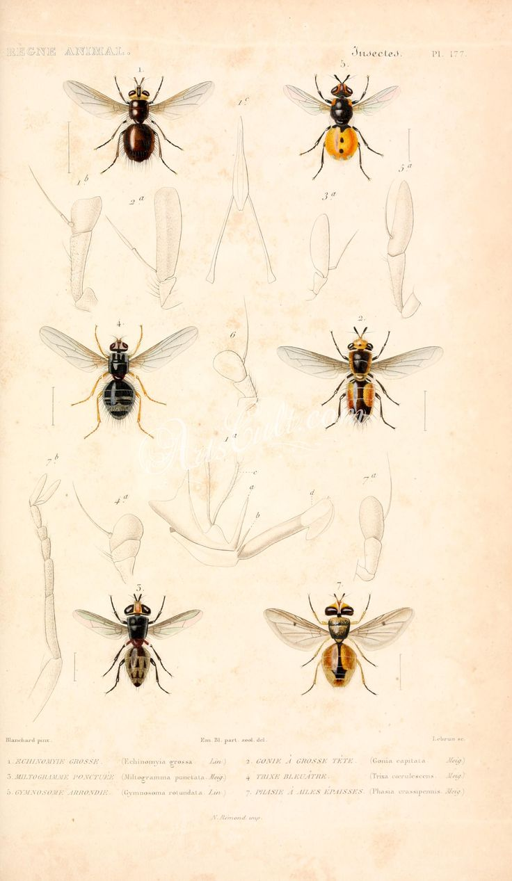 331-Cleoptera, tenebrio, Flour-beetle      ...