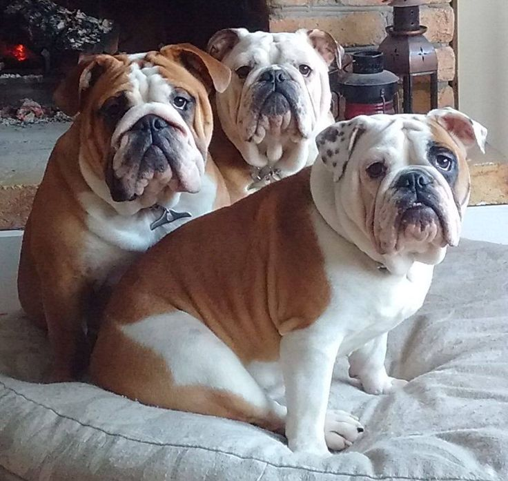 "❤""Cheese"" And everyone smiled ~ Works great with bully aka cheese lover dogs!!❤  Posted on Bulldog Pics"
