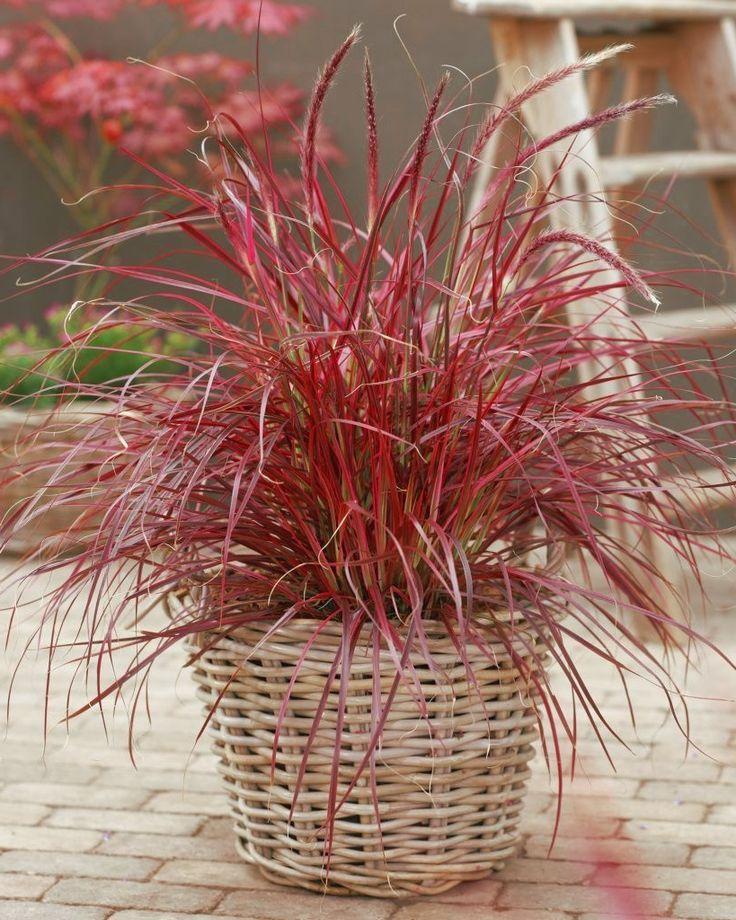 Il Penniseto è una graminacea molto decorativa, adatta a aiuole e bordure, può essere utilizzata anche in composizioni di fiori secchi.