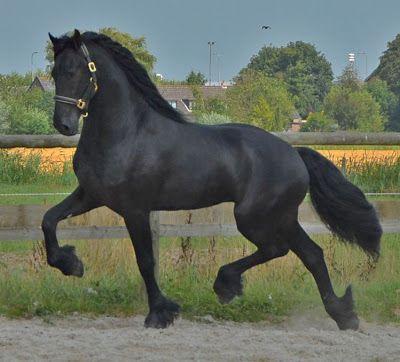 Equus ferus: Caballos arabes/ Caballos europeos.