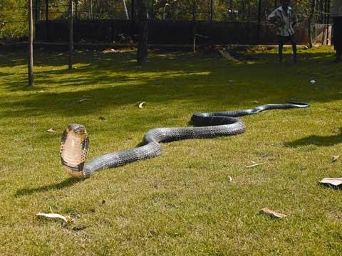Giant King Cobra, the biggest snake in India and one of the most dangerous snake in the world.