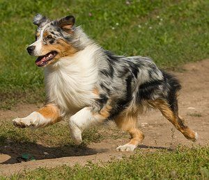 Australian Shepherd. I want one that pretty much looks just like that!!