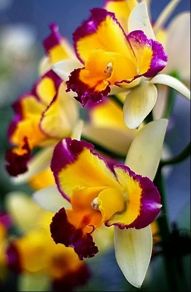 Tri-colored Orchids+++++