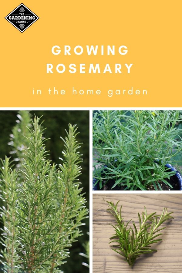 How To Grow Rosemary Herbs At Home Container Herb Garden Growing Rosemary Vegetable Garden Layout Design