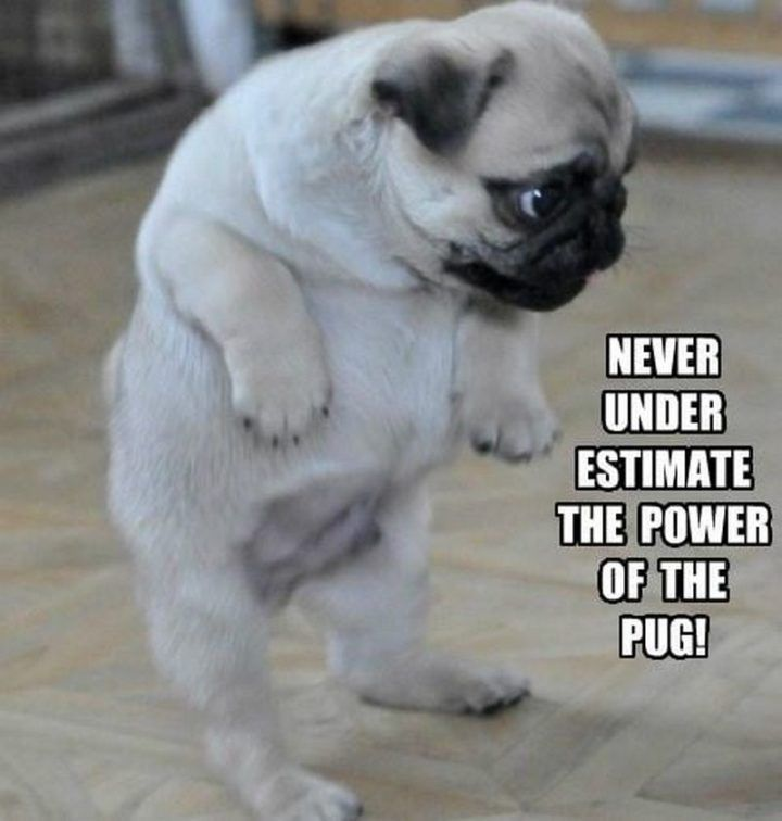 101 Lovable Pug Memes That Are Too Puggin Cute Cute Pugs Baby