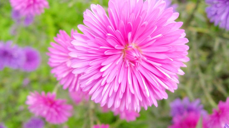 Pink Color China Aster - http://1080wallpaper.net/pink-color-china-aster.html