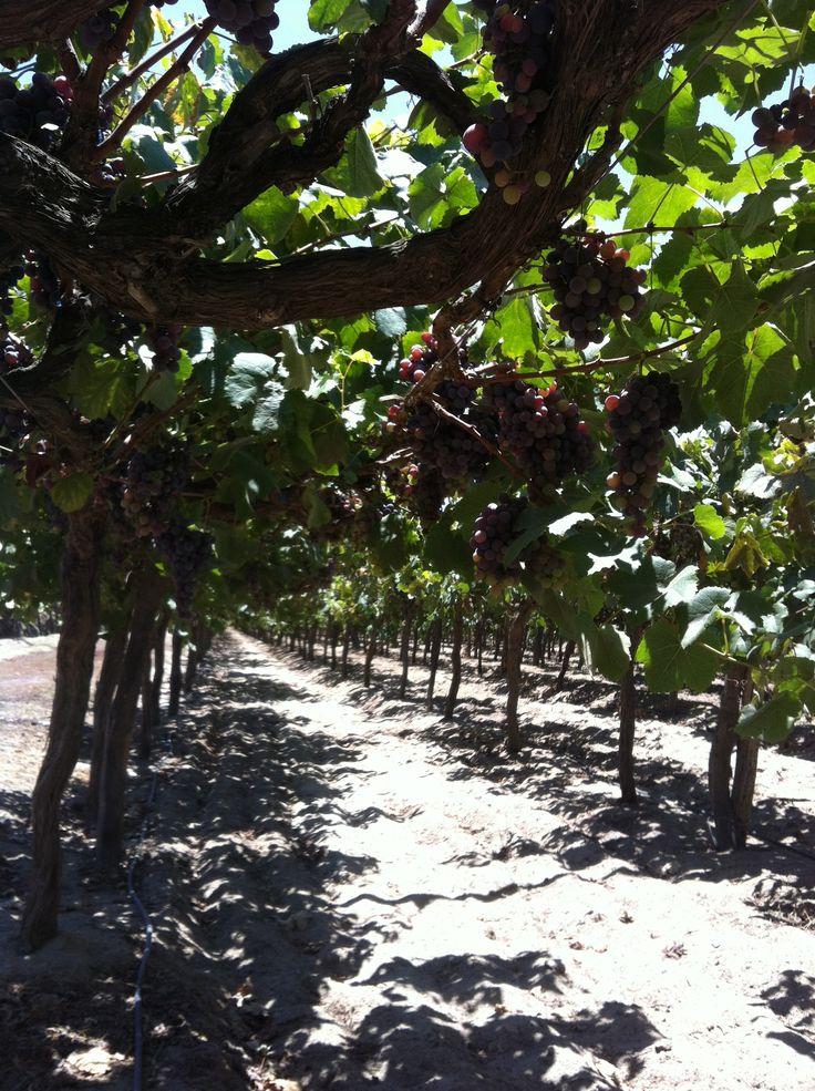 Vineyards at Viejo Tonel