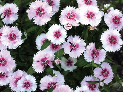 Preview image for product titled: Mini Pink and White Dianthus
